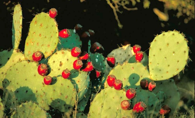 image prickly pear cactus fruits