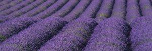 lavender 2
