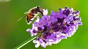 Bees lavender