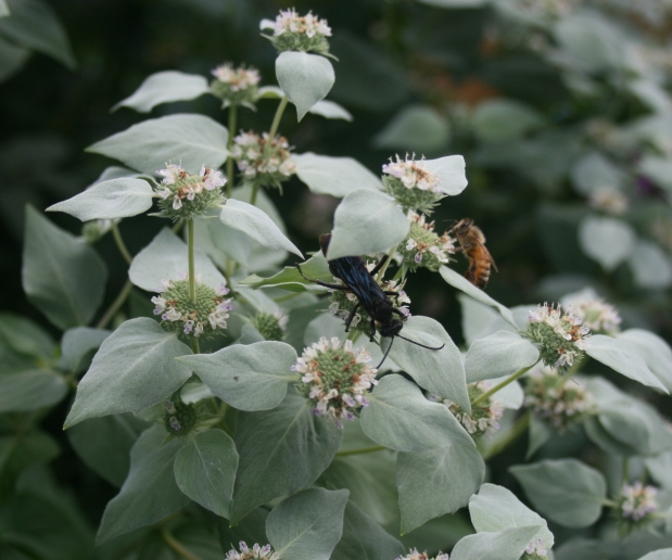 Mountain Mint: Native Herb of 2016