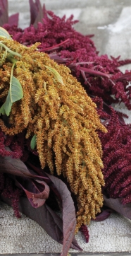 Amaranth Kerala red and Orange Giant_1