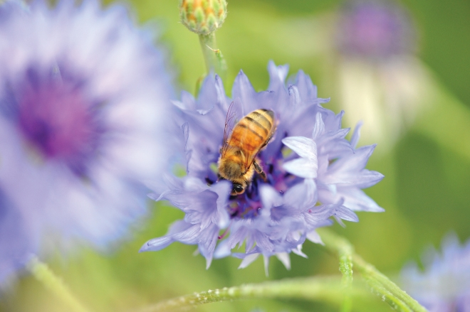 for Ten Speed Press:  title, The Bee Friendly Garden by Frey/LeBuhn