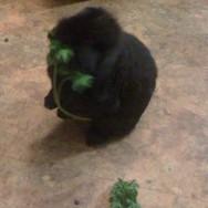 Easter, hazel eating parsley