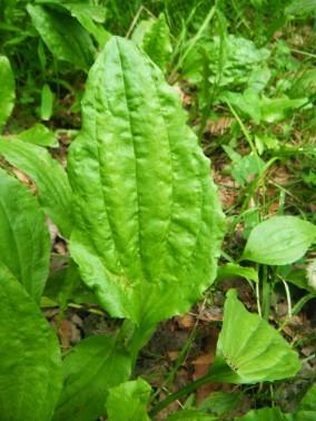 DSCF9863 Common Plantain leaf (Plantago major)