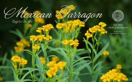 Mexican tarragon.png