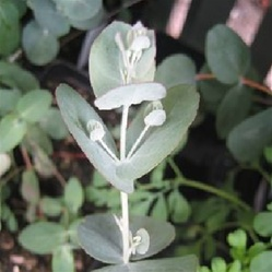 eucalyptus-silver-drop-2
