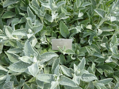 lambs-ear-herbs-16-niagara-parks-botanical-garden-41