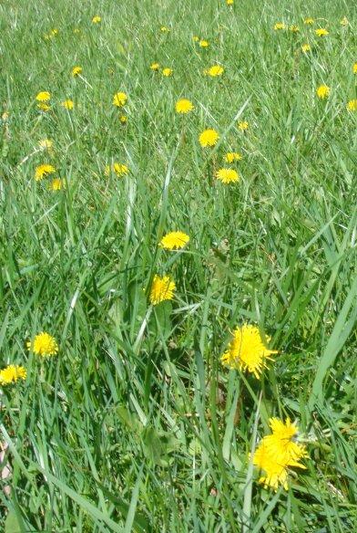 Dandelion (2)