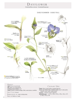 Dayflower-Commelina erecta