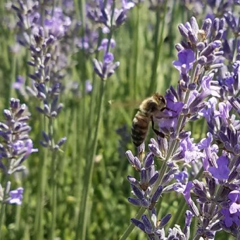 lavender with bug