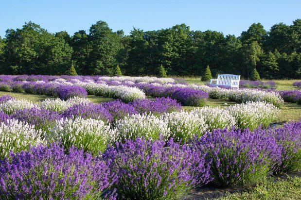 Discover the Best Lavender for Cooking