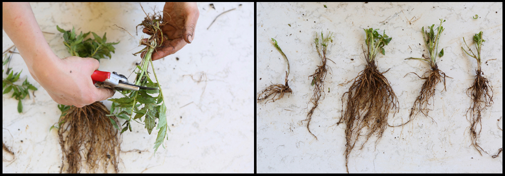 Root division cutting back