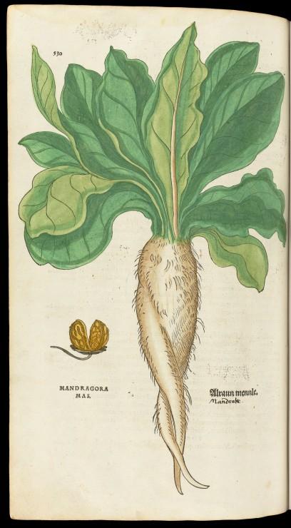 L0051251 Mandragora (Mandrake) plant from 'De historia...'
