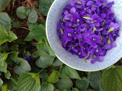 Violet-flowers-Viola-sororia
