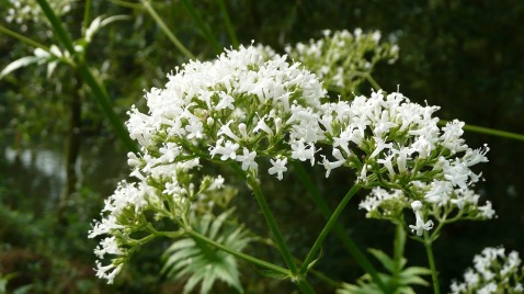 valeriana-officinalis-848738_1920