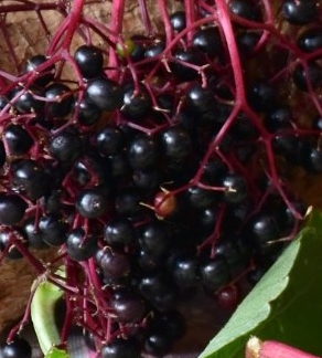 elderberry_blend_large1.jpg