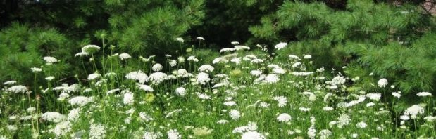 Queen Anne's Lace: Both Royal Diva and Outlaw