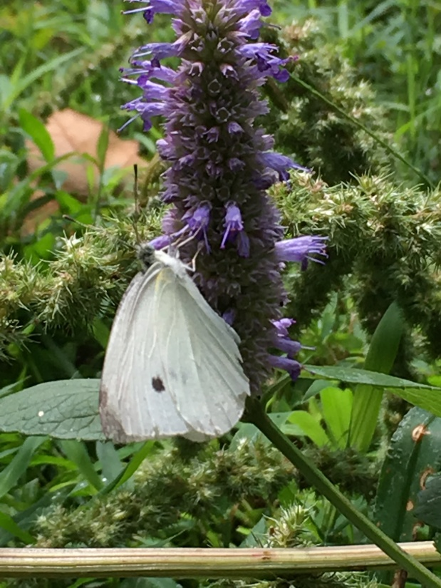 Looking to 2019 Herb of the Year: Anise Hyssop