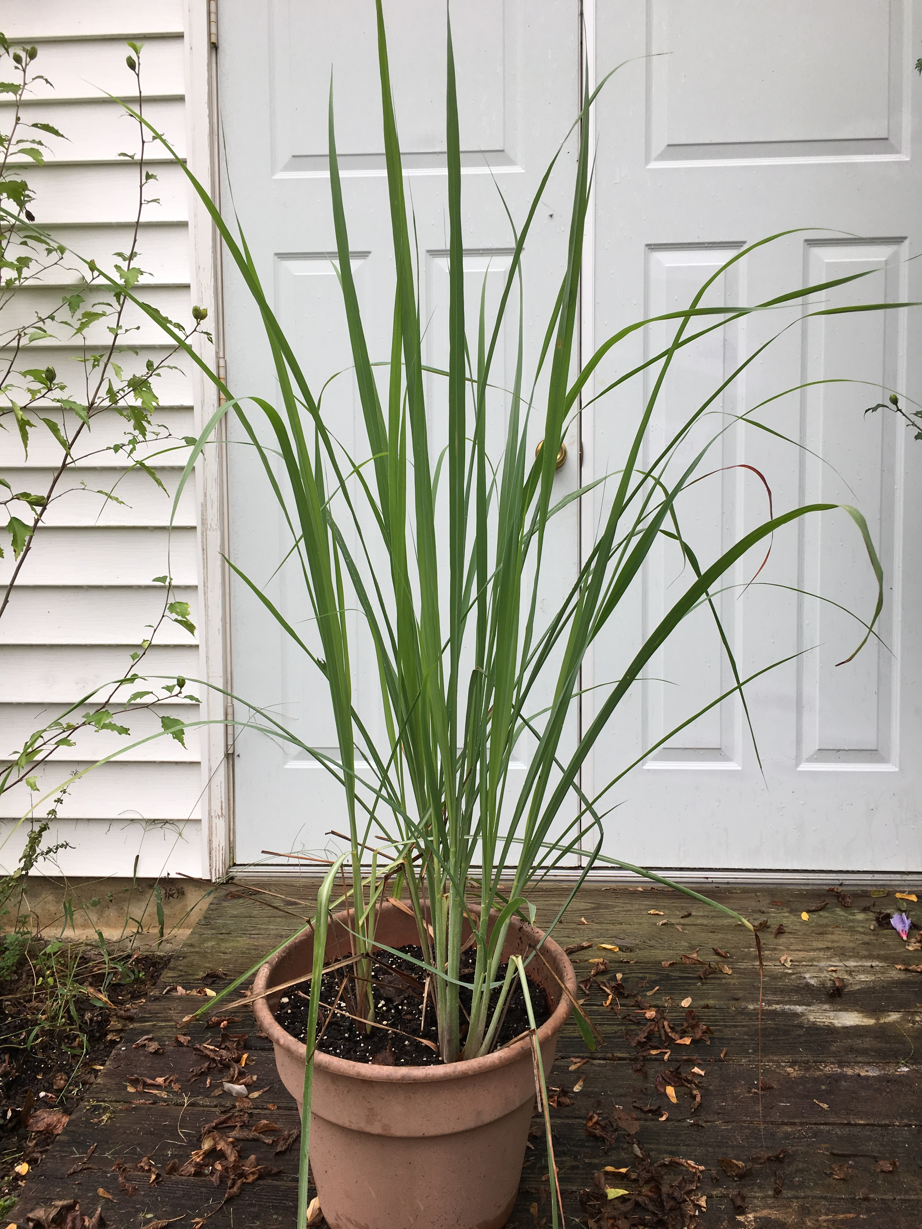 Add Lemongrass to Your Garden Plans — The Herb Society of America Blog