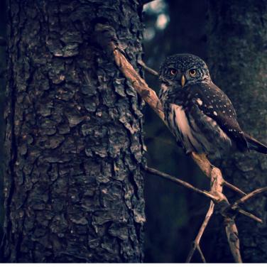 solstice owl