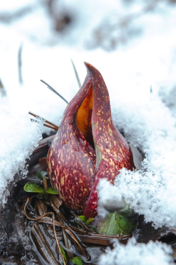 Skunk Cabbage: Ephemeral, Alchemical and Smelly