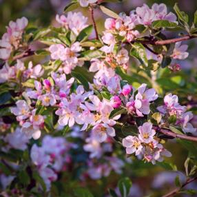 Cherry blossom (3)