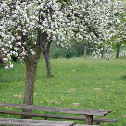 Cherry blossom (4)