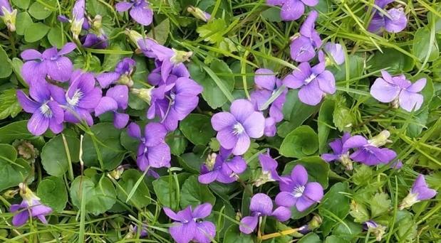 Violets are Delicious