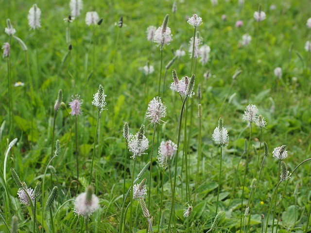 plantain flowering
