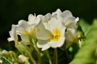 primrose original color