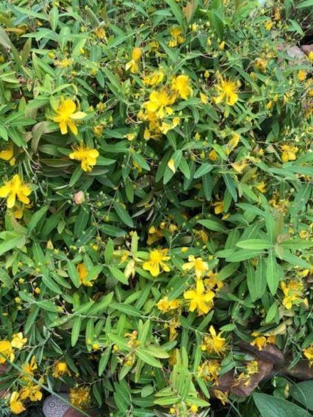 St. Johns wort plant