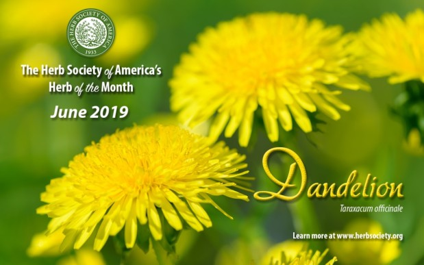 Dandelion – June Herb of the Month