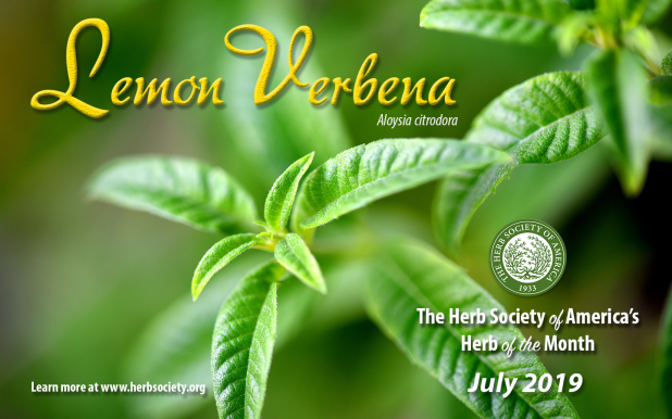 Lemon Verbena – Herb of the Month July 2019