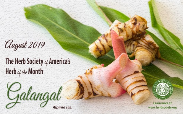 Galangal, Herb of the Month: An interesting, but less familiar herb