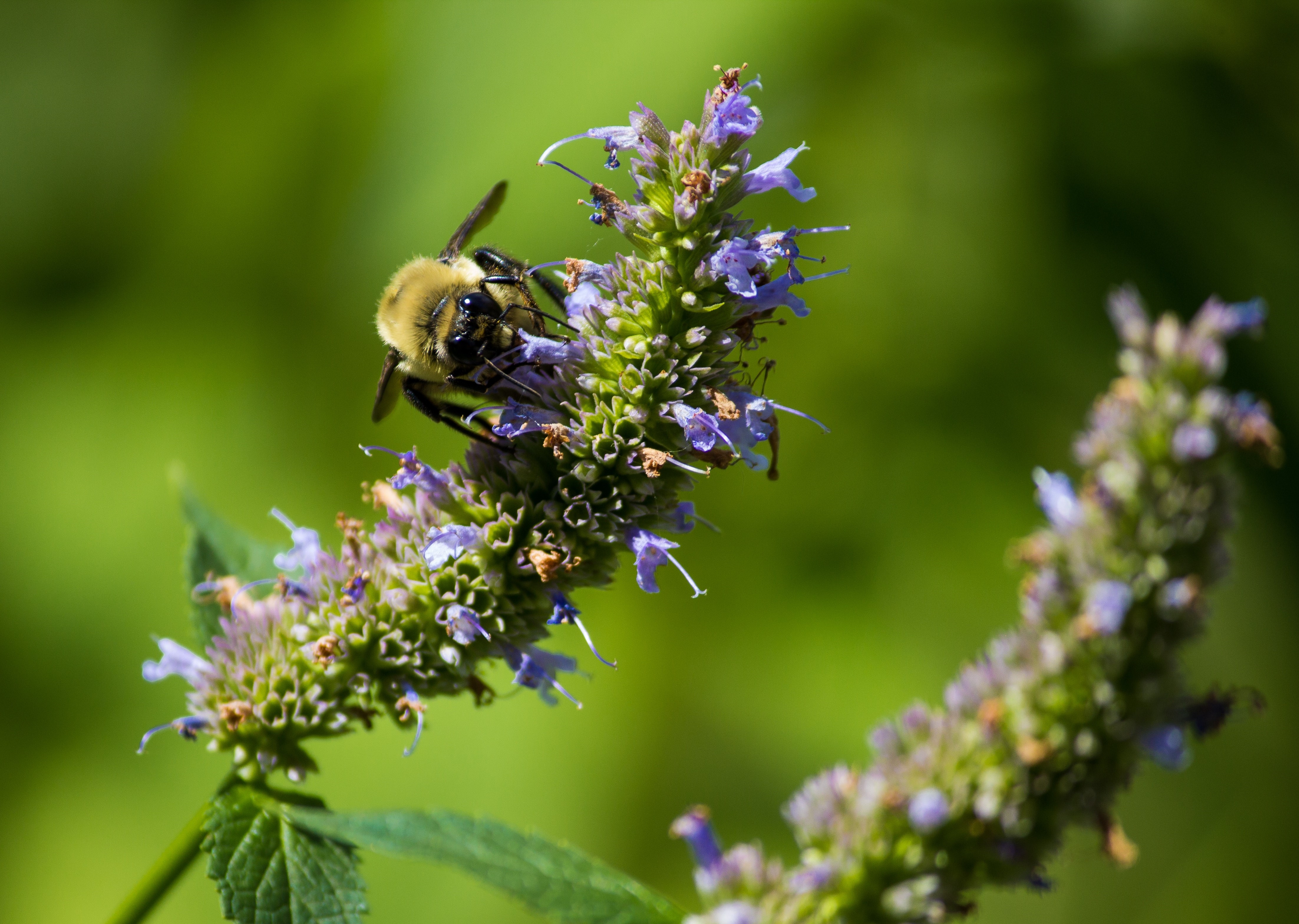 Webinar anise hyssop with bee (1)