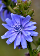 September2019 HOM Chicory (2)