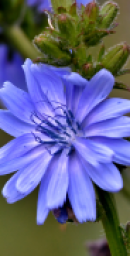 September2019 HOM Chicory (2)