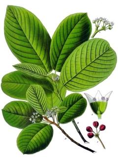 Rhamnus_purshiana_-_Köhler–s_Medizinal-Pflanzen-121