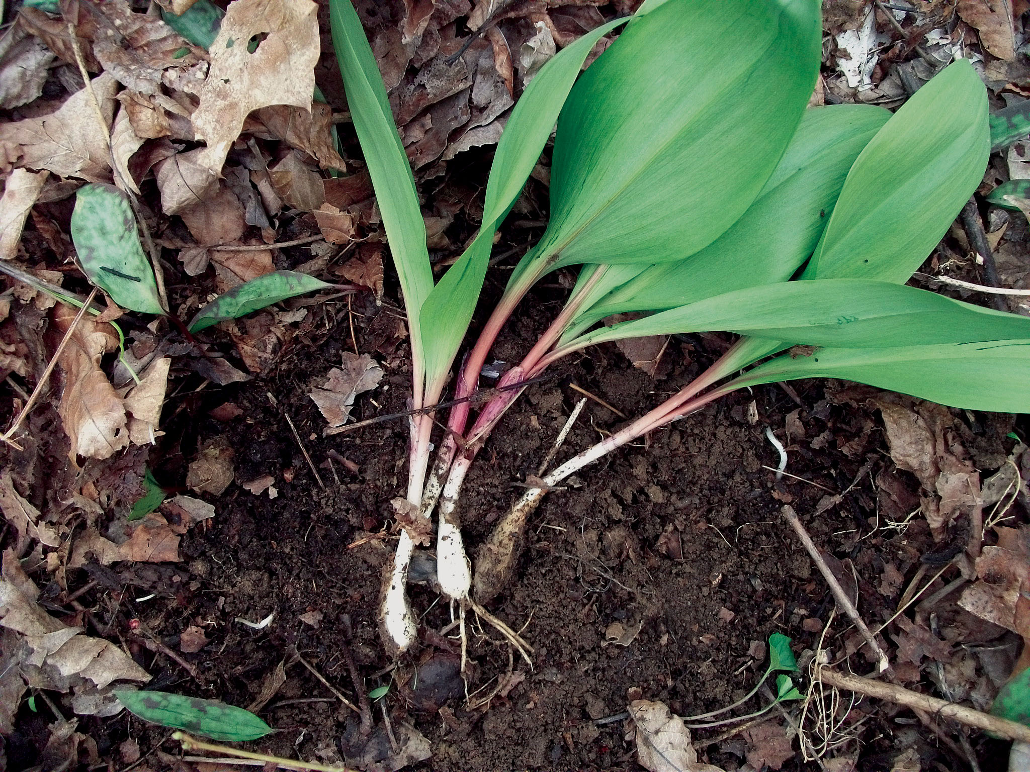 Foraged.Ramps 14