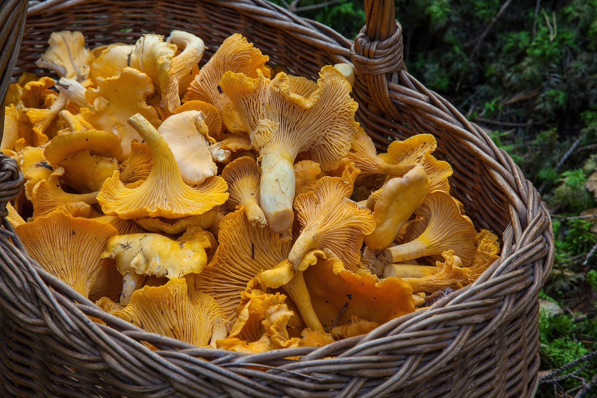 chanterelle mushrooms - most popular of edible varieties