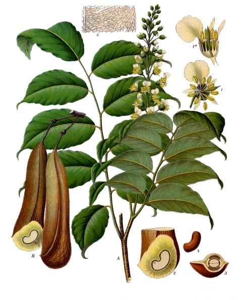 Myroxylon_balsamum_-_Köhler–s_Medizinal-Pflanzen-141