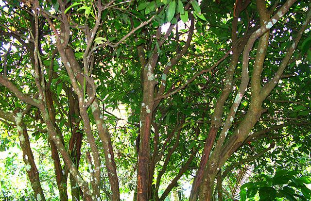 cinnamon tree Creative Commons Magda Wojtyra