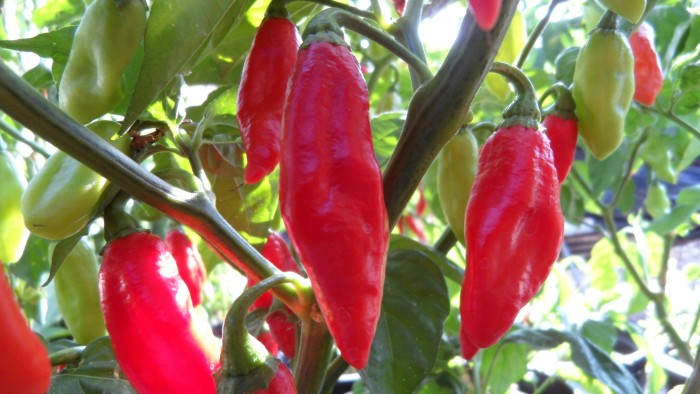 Trinidad Pimento Peppers Seedwise
