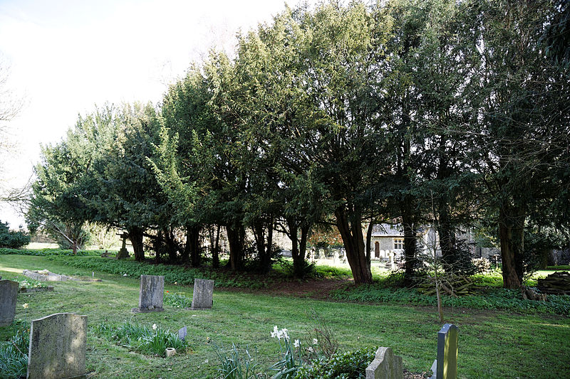 Church_of_St_Mary_and_St_Christopher,_Panfield_-_churchyard_yew_trees