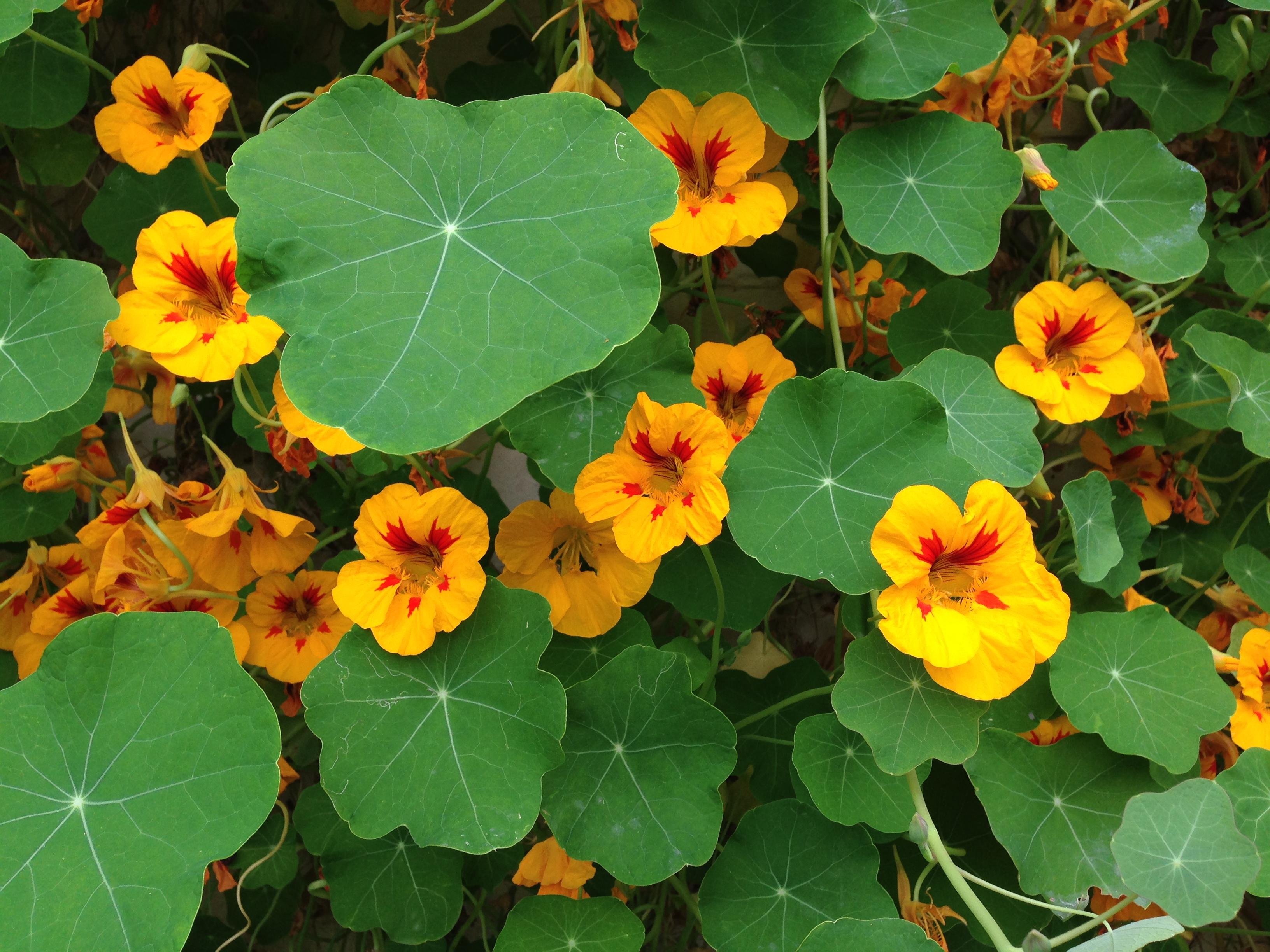 Yellow_and_red_Tropaeolum_majus_(Garden_nasturtium) by Mary Hutchison via Wikimedia