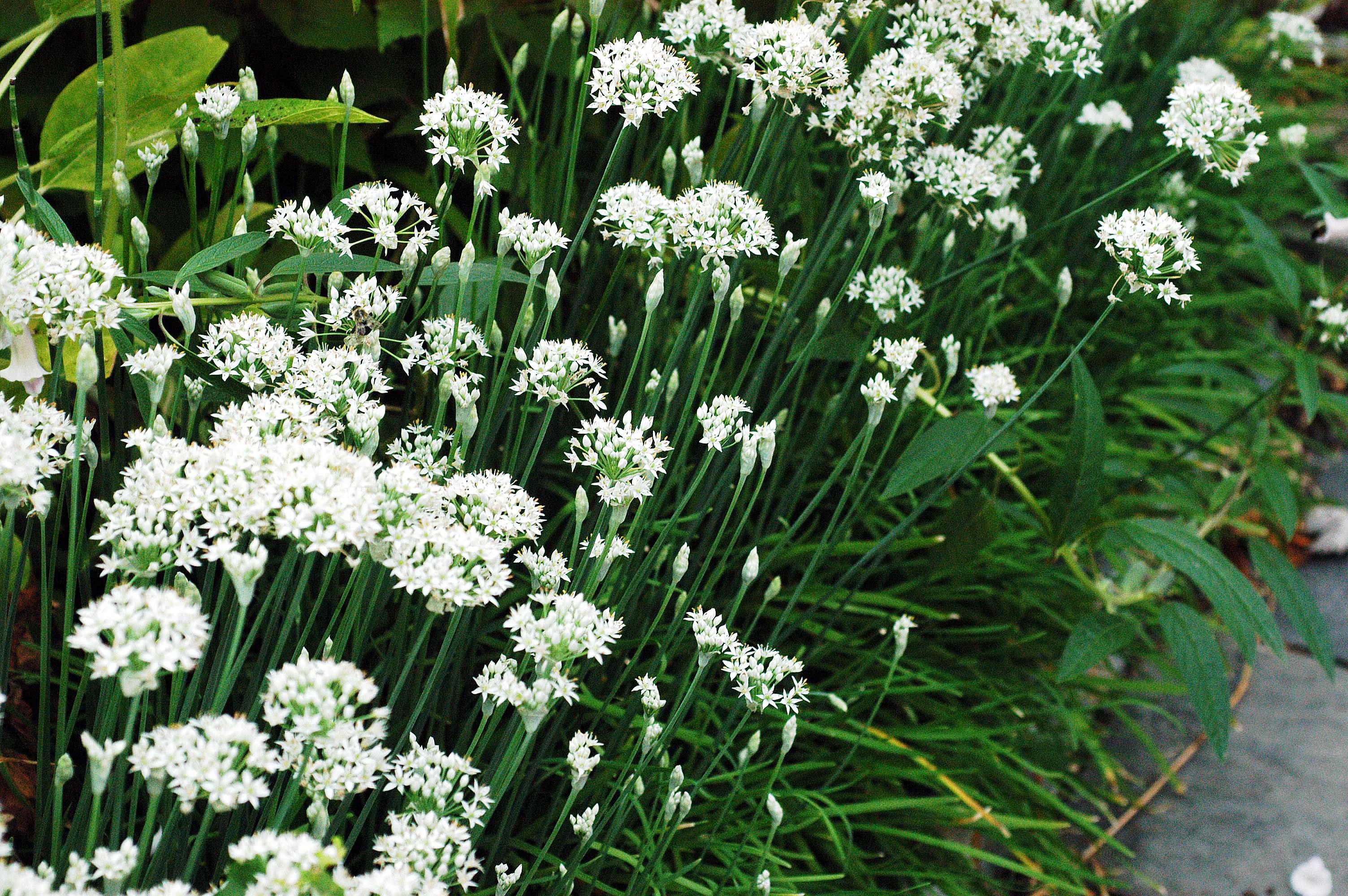 Allium tuberosum2 46966H