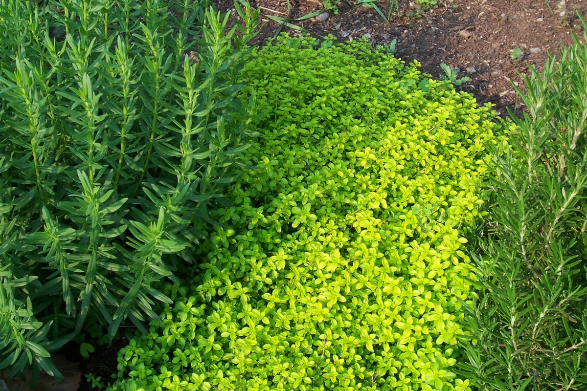 Image of Rosemary and 'Aureus' thyme