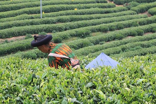 Tea -Man picking tea leaves