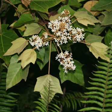 kukui leaves and flowers
