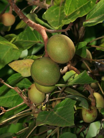 kukui unripe fruit